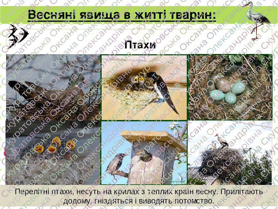 Весняні явища в житті тварин: Птахи Перелітні птахи, несуть на крилах з теплих країн весну. Прилітають додому, гніздяться і виводять потомство. Page
