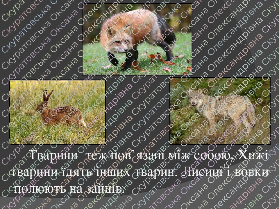 Тварини теж пов'язані між собою. Хижі тварини їдять інших тварин. Лисиці і вовки полюють на зайців.