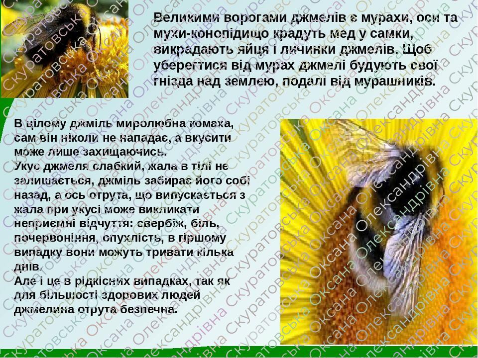 Великими ворогами джмелів є мурахи, оси та мухи-конопідищо крадуть мед у самки, викрадають яйця і личинки джмелів. Щоб уберегтися від мурах джмелі ...