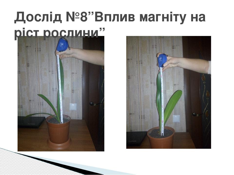 """Дослід №8""""Вплив магніту на ріст рослини"""""""
