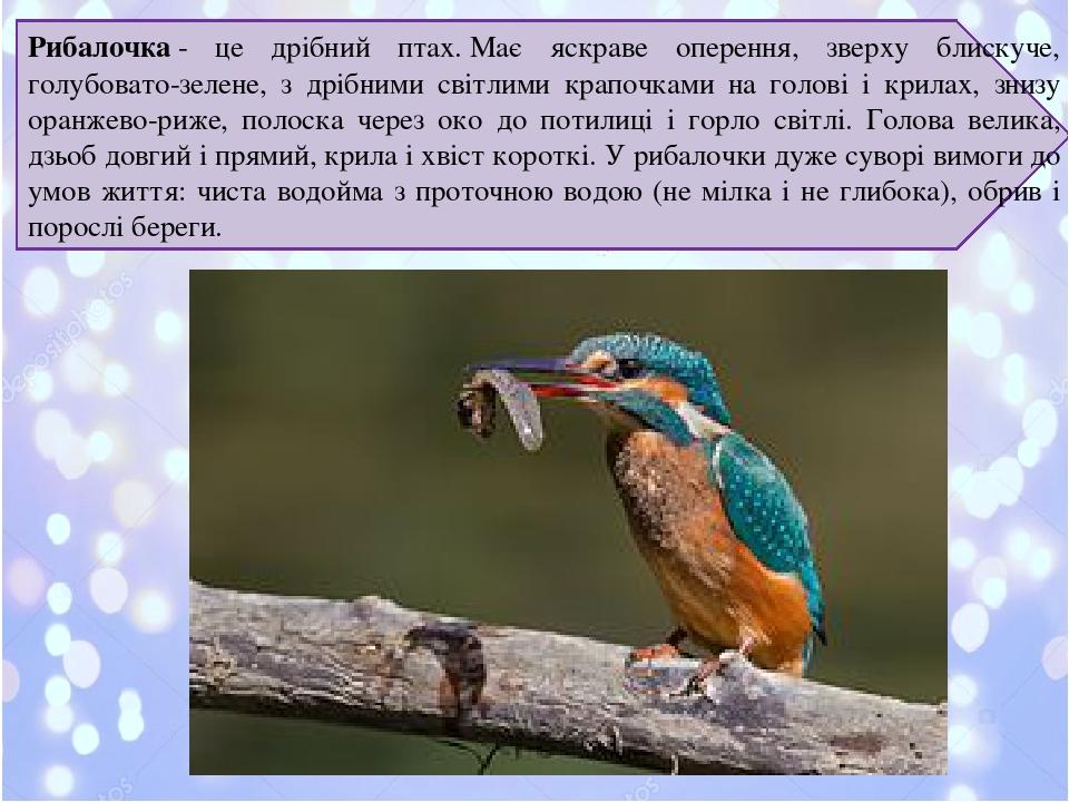 Рибалочка- це дрібний птах.Має яскраве оперення, зверху блискуче, голубовато-зелене, з дрібними світлими крапочками на голові і крилах, знизу ора...