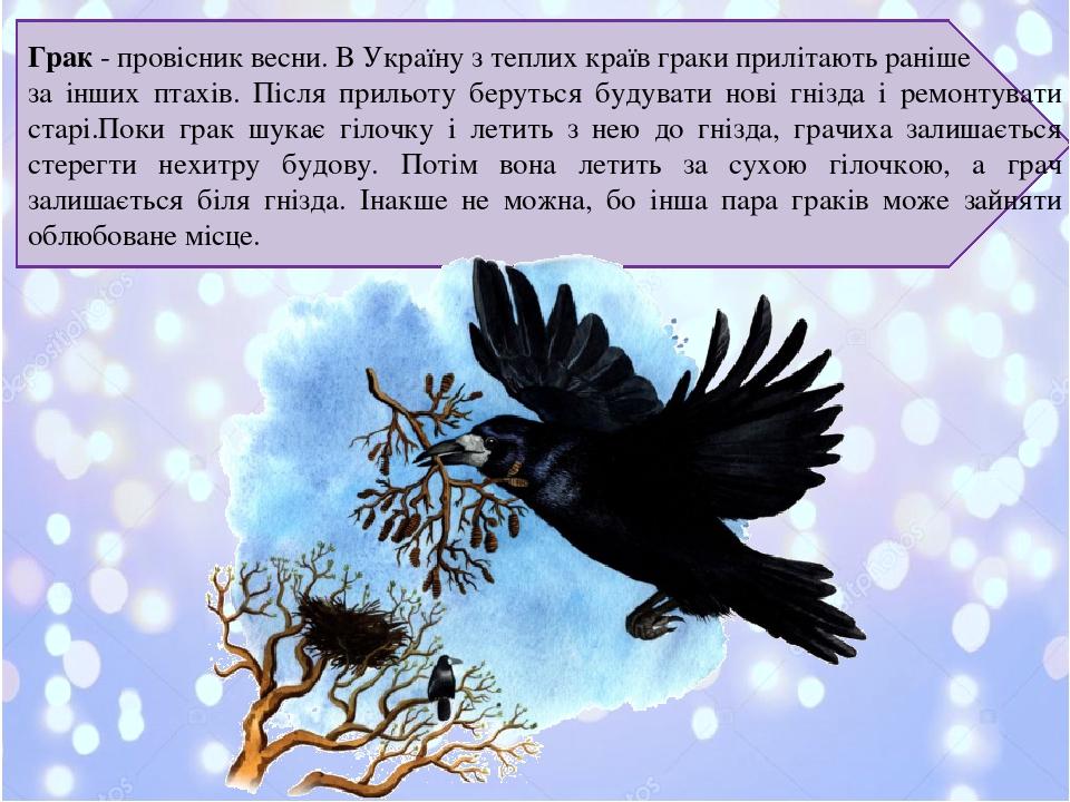 Грак- провісник весни. В Україну з теплих країв граки прилітають раніше за інших птахів. Після прильоту беруться будувати нові гнізда і ремонтуват...