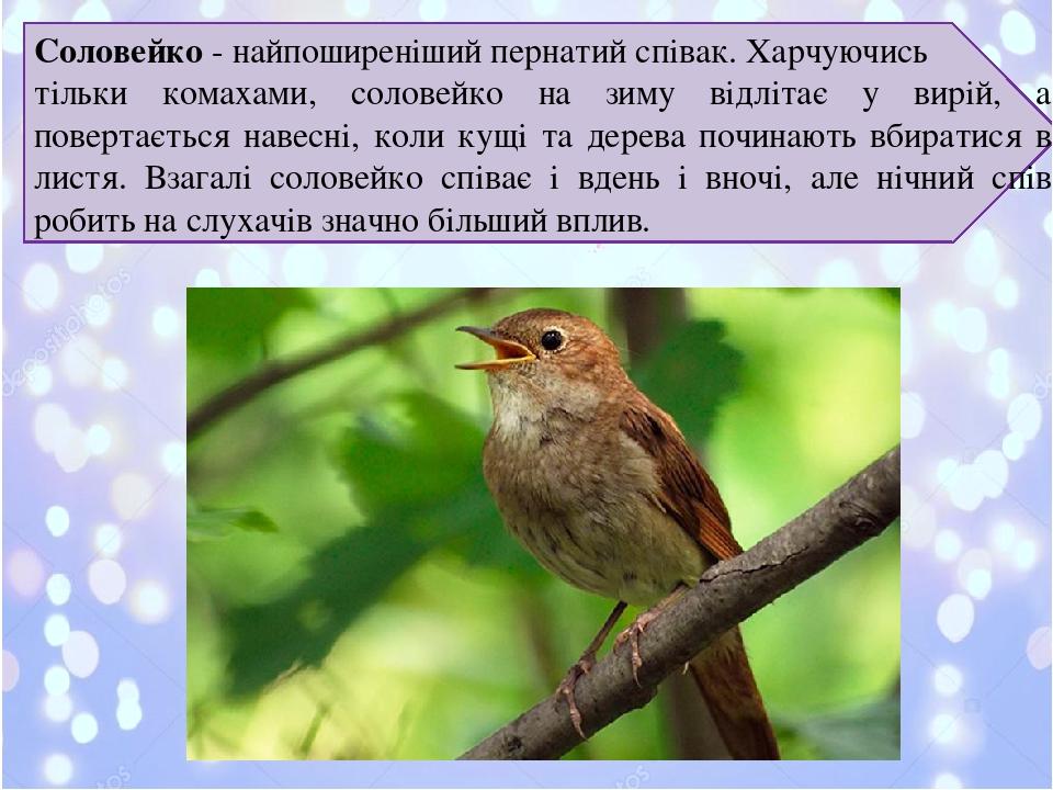 Соловейко- найпоширеніший пернатий співак. Харчуючись тільки комахами, соловейко на зиму відлітає у вирій, а повертається навесні, коли кущі та де...