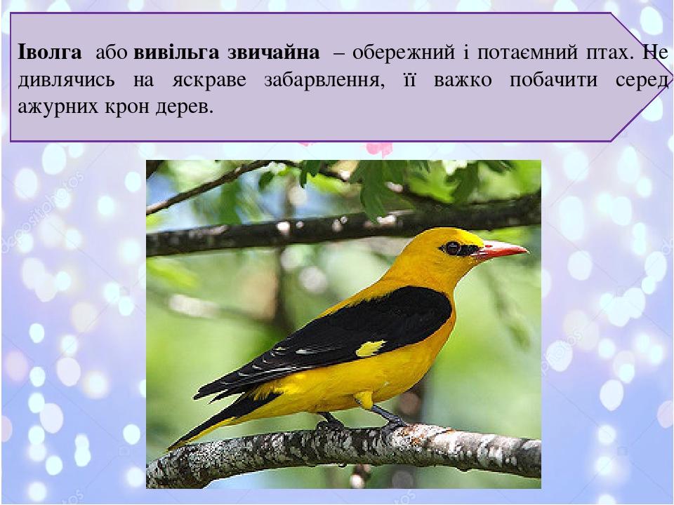 Іволга абовивільга звичайна – обережний і потаємний птах. Не дивлячись на яскраве забарвлення, її важко побачити серед ажурних крон дерев.