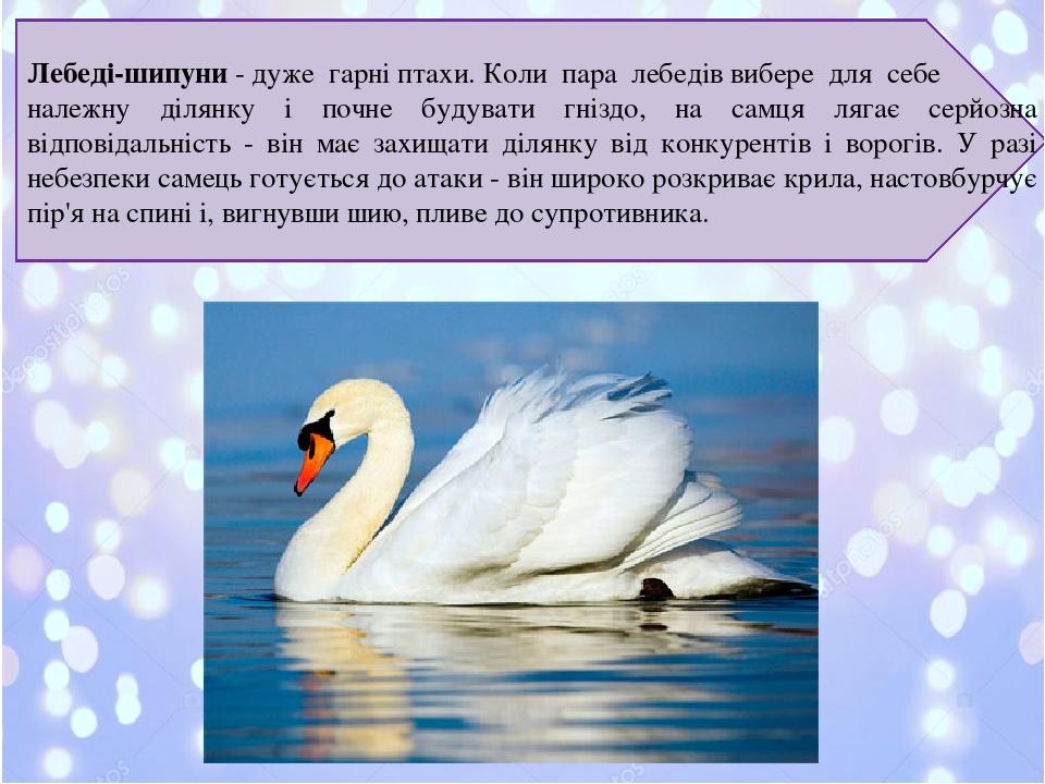 Лебеді-шипуни- дуже гарні птахи. Коли пара лебедів вибере для себе належну ділянку і почне будувати гніздо, на самця лягає серйозна відповідальніс...