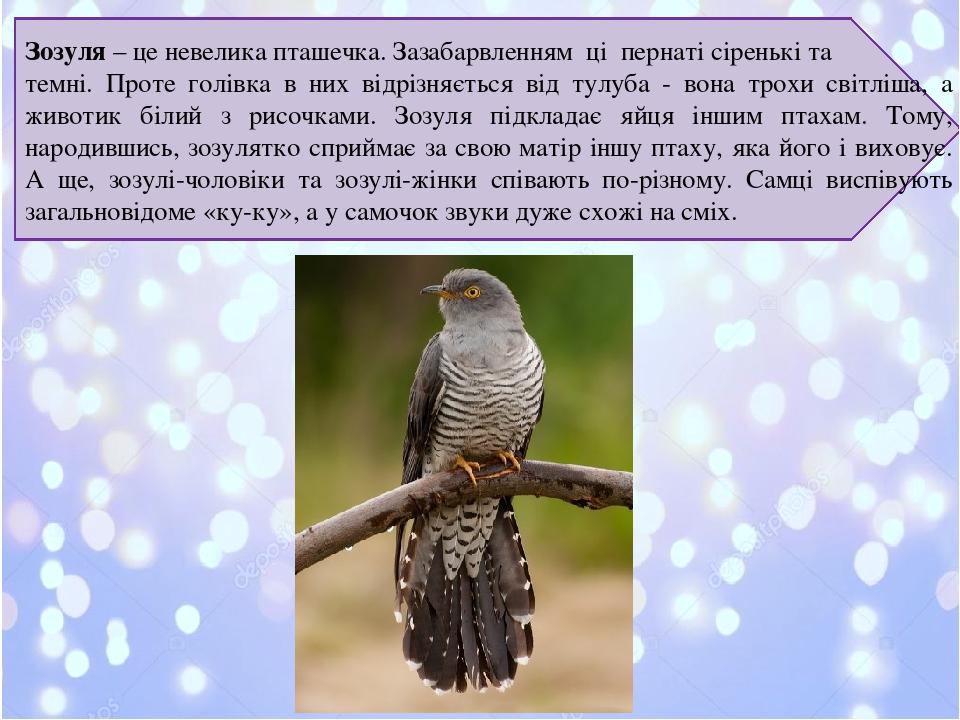 Зозуля– це невелика пташечка. Зазабарвленням ці пернаті сіренькі та темні. Проте голівка в них відрізняється від тулуба - вона трохи світліша, а ж...