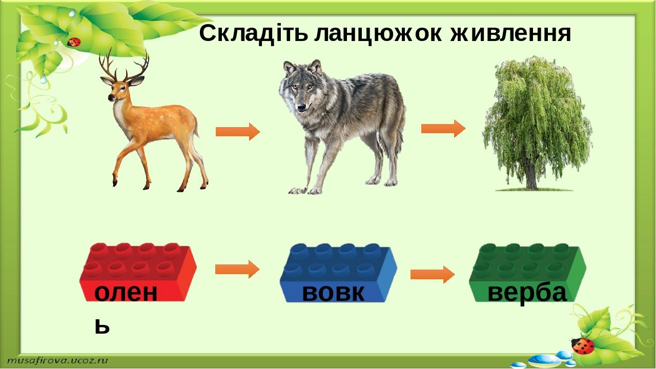 Складіть ланцюжок живлення олень вовк верба