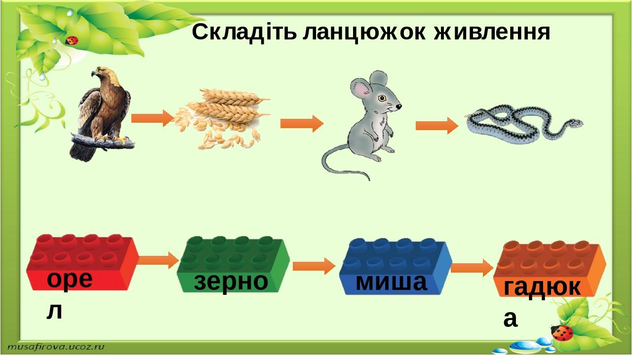 Складіть ланцюжок живлення орел зерно миша гадюка