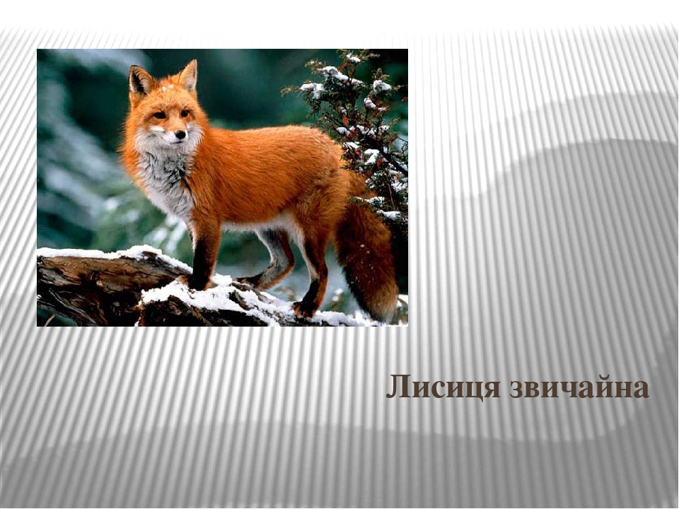 Лисиця звичайна