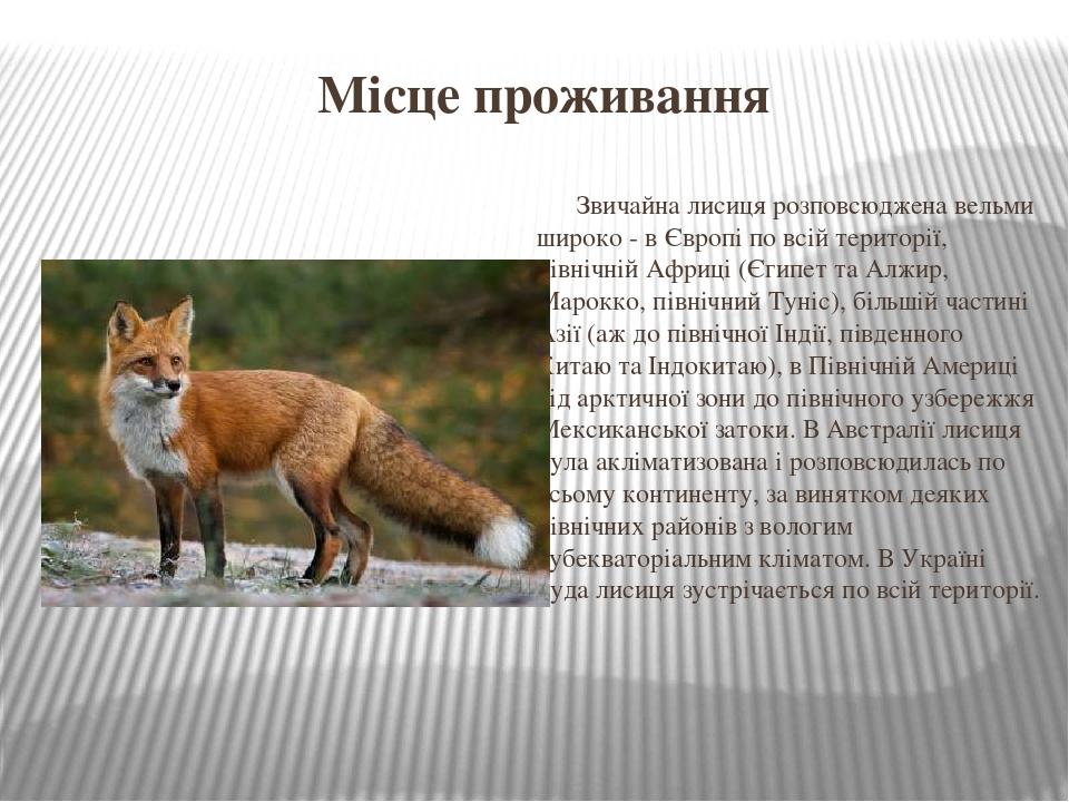 Місце проживання Звичайна лисиця розповсюджена вельми широко - в Європі по всій території, північній Африці (Єгипет та Алжир, Марокко, північний Ту...