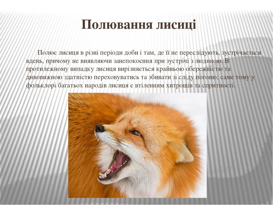 Полювання лисиці Полює лисиця в різні періоди доби і там, де її не переслідують, зустрічається вдень, причому не виявляючи занепокоєння при зустріч...