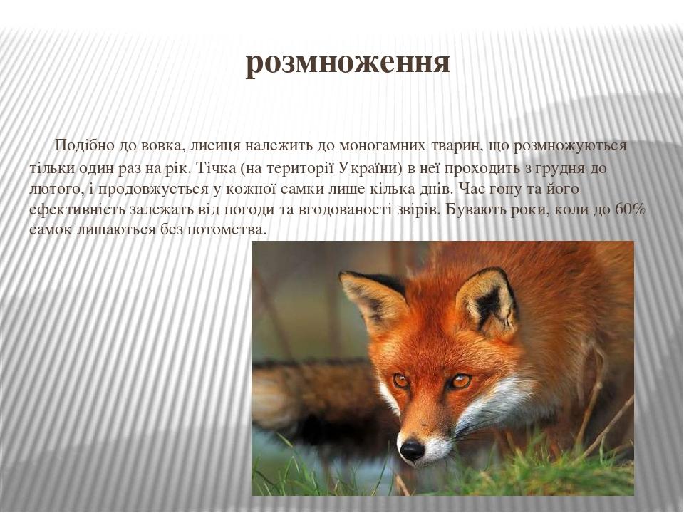 розмноження Подібно до вовка, лисиця належить до моногамних тварин, що розмножуються тільки один раз на рік. Тічка (на території України) в неї про...