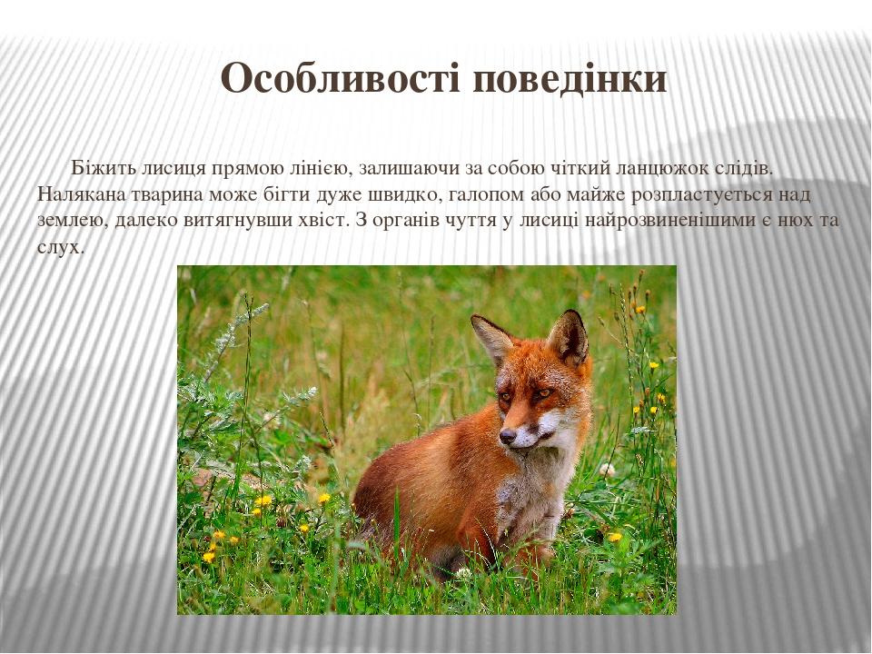Особливості поведінки Біжить лисиця прямою лінією, залишаючи за собою чіткий ланцюжок слідів. Налякана тварина може бігти дуже швидко, галопом або ...