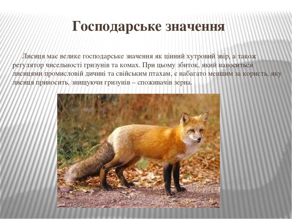 Господарське значення Лисиця має велике господарське значення як цінний хутровий звір, а також регулятор чисельності гризунів та комах. При цьому з...