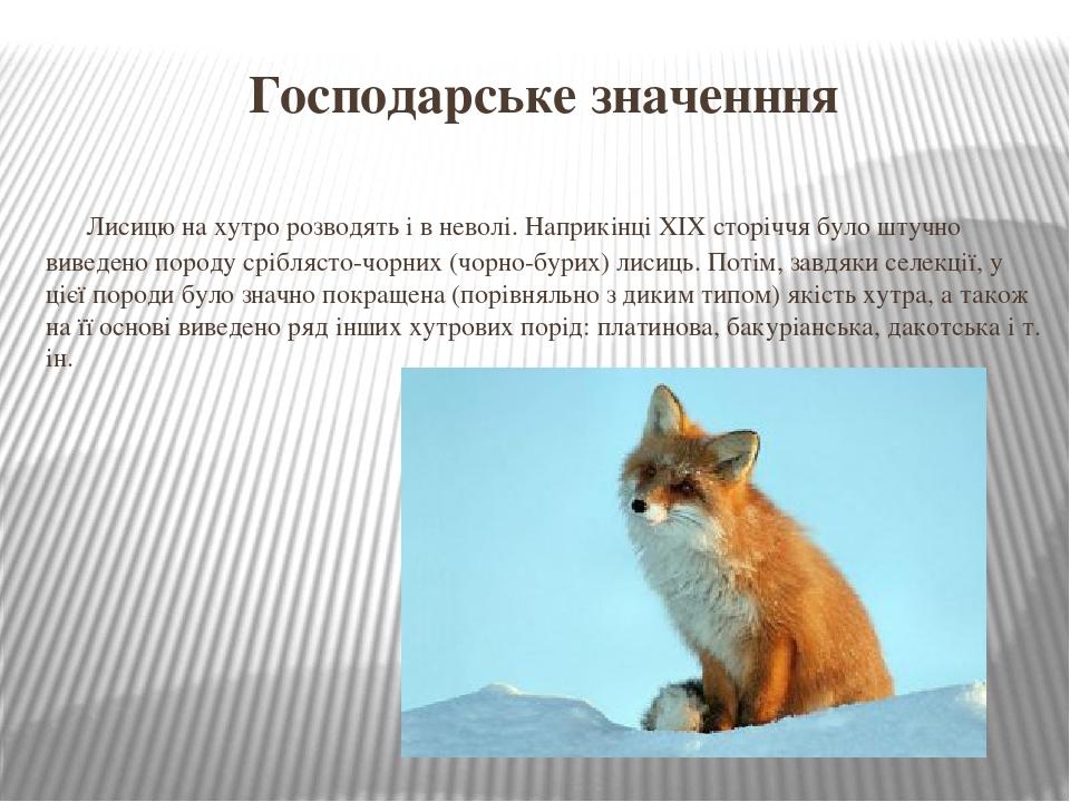 Господарське значенння Лисицю на хутро розводять і в неволі. Наприкінці ХІХ сторіччя було штучно виведено породу сріблясто-чорних (чорно-бурих) лис...