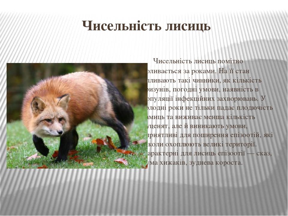 Чисельність лисиць Чисельність лисиць помітно коливається за роками. На її стан впливають такі чинники, як кількістьгризунів, погодні умови, наявн...