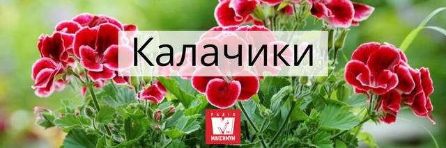 Говори красиво: 10 українських назв квітів, які милують око - фото 400900