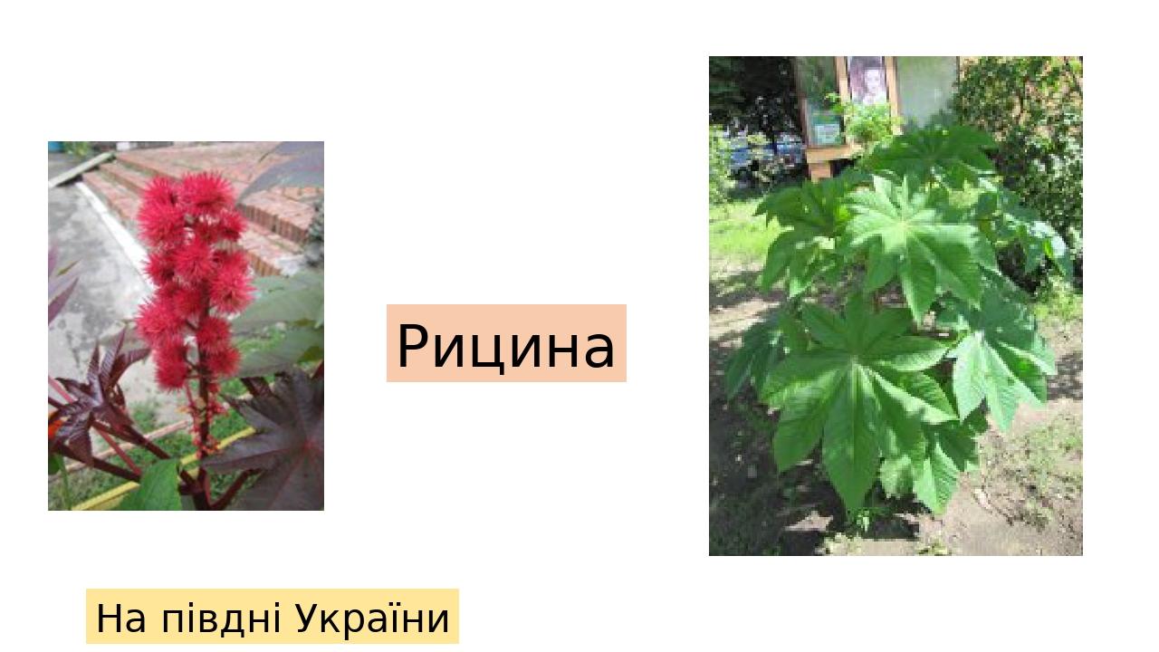 Рицина На півдні України