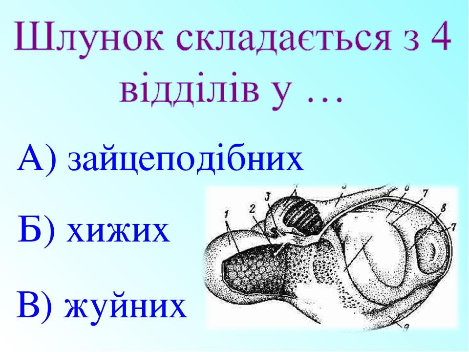 В) жуйних Б) хижих А) зайцеподібних