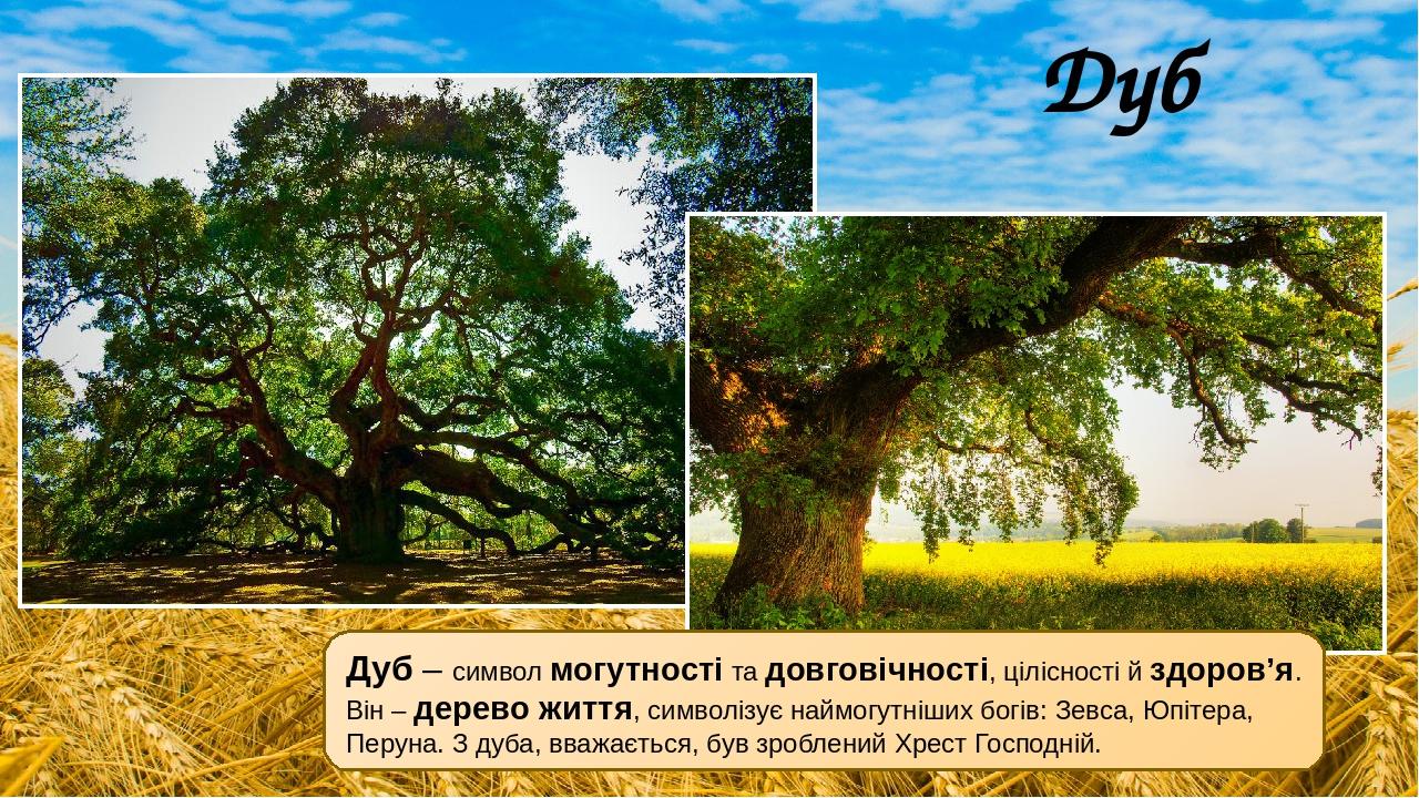 Дуб Дуб – символ могутності та довговічності, цілісності й здоров'я. Він – дерево життя, символізує наймогутніших богів: Зевса, Юпітера, Перуна. З ...