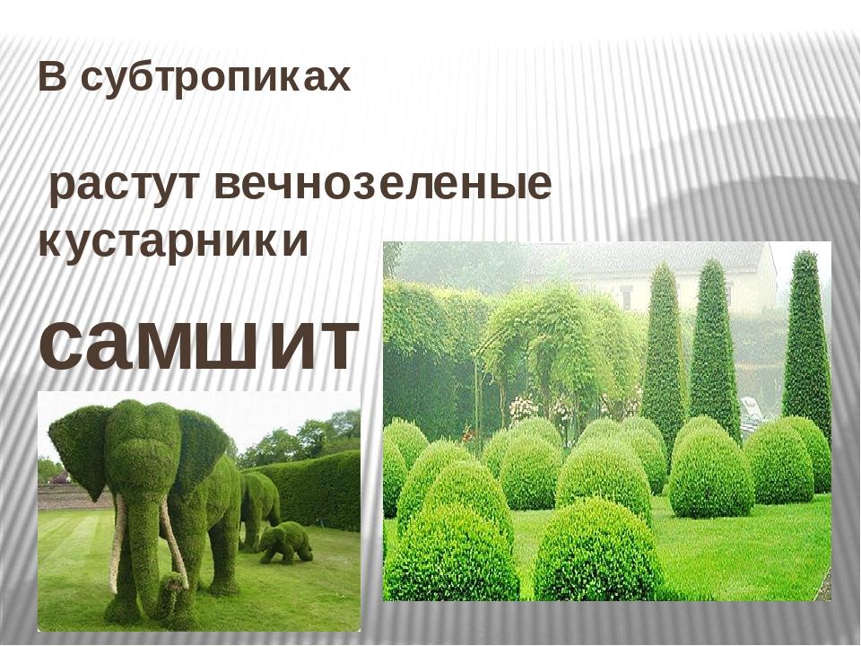 В субтропиках растут вечнозеленые кустарники самшит