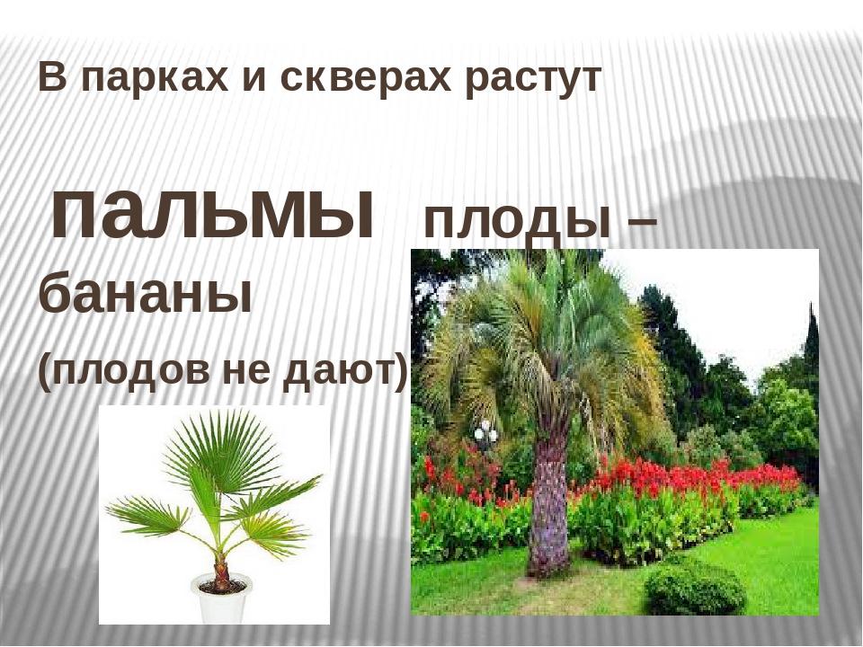 В парках и скверах растут пальмы плоды – бананы (плодов не дают)