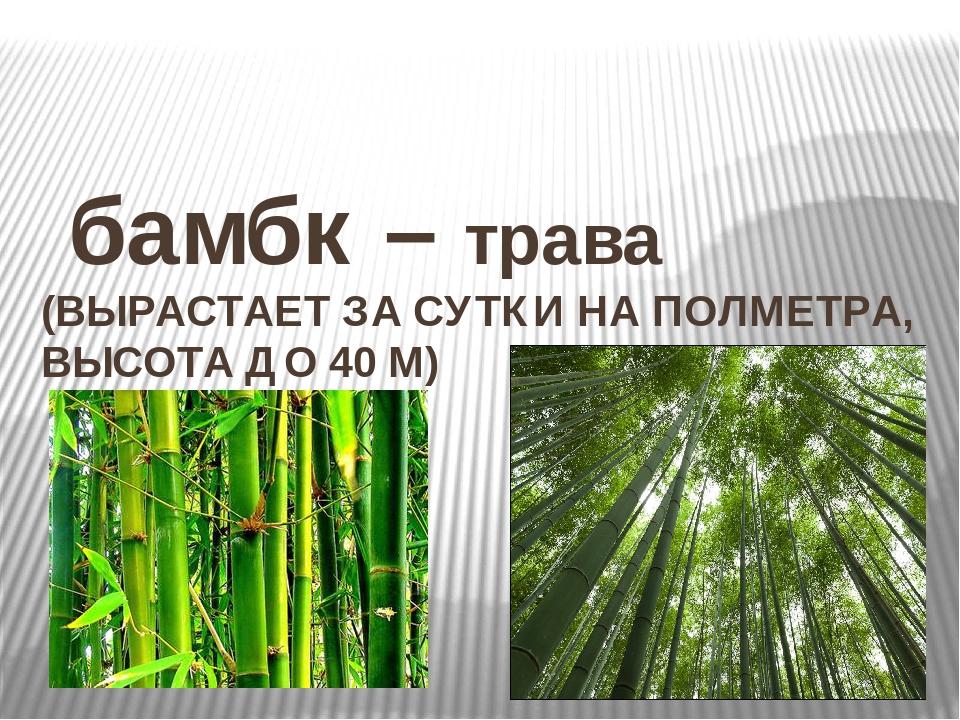 бамбк – трава (ВЫРАСТАЕТ ЗА СУТКИ НА ПОЛМЕТРА, ВЫСОТА ДО 40 М)