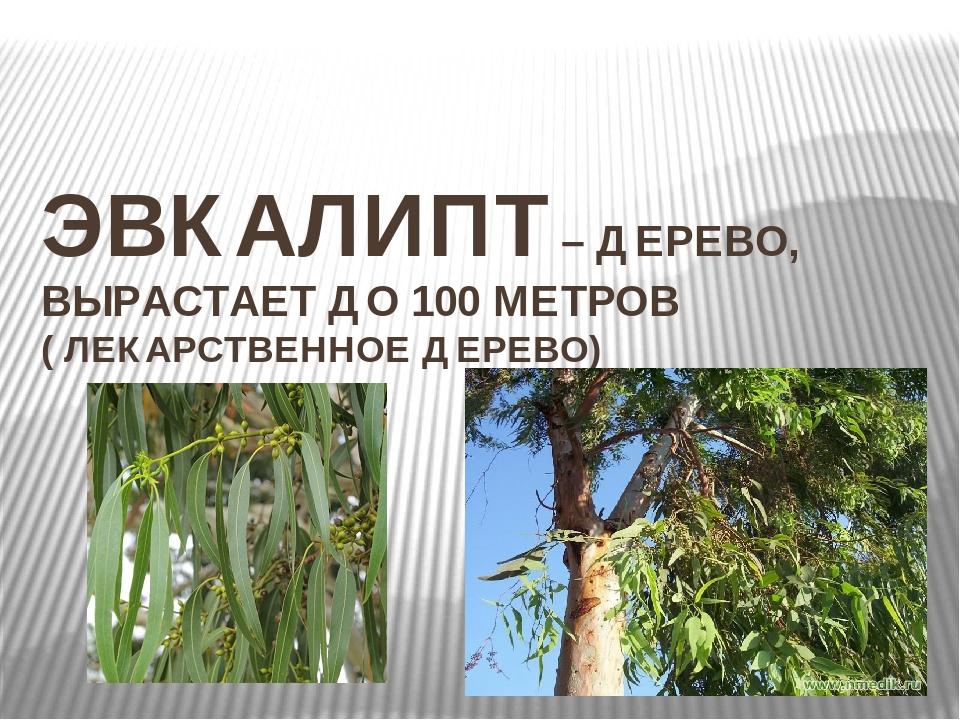 ЭВКАЛИПТ – ДЕРЕВО, ВЫРАСТАЕТ ДО 100 МЕТРОВ ( ЛЕКАРСТВЕННОЕ ДЕРЕВО)