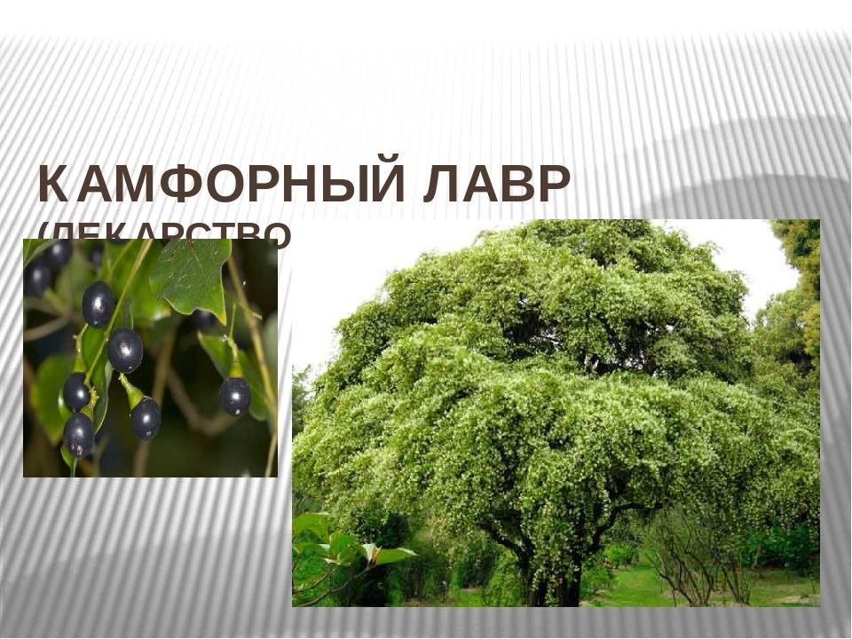 КАМФОРНЫЙ ЛАВР (ЛЕКАРСТВО)