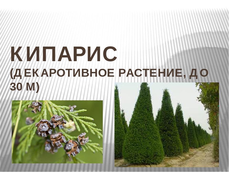 КИПАРИС (ДЕКАРОТИВНОЕ РАСТЕНИЕ, ДО 30 М)
