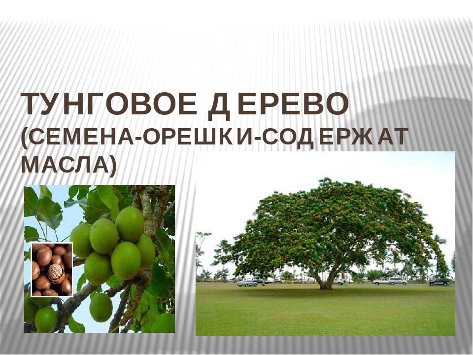 ТУНГОВОЕ ДЕРЕВО (СЕМЕНА-ОРЕШКИ-СОДЕРЖАТ МАСЛА)