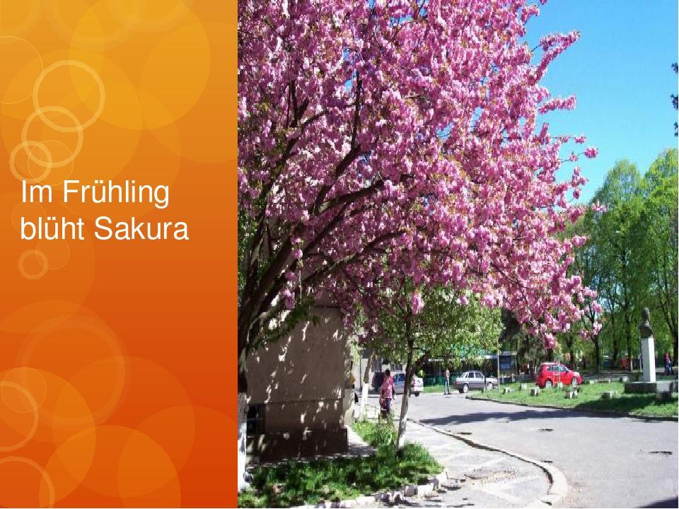 Im Frühling blüht Sakura