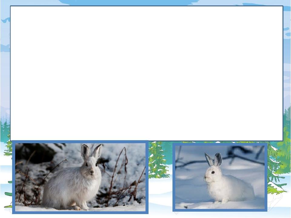 Заєць весь день дрімає у ямці, зробленій у снігу. Незадовго до заходу сонця він виходить на пошуки корму. Обгризає кору, пагони молодих дерев і кущ...