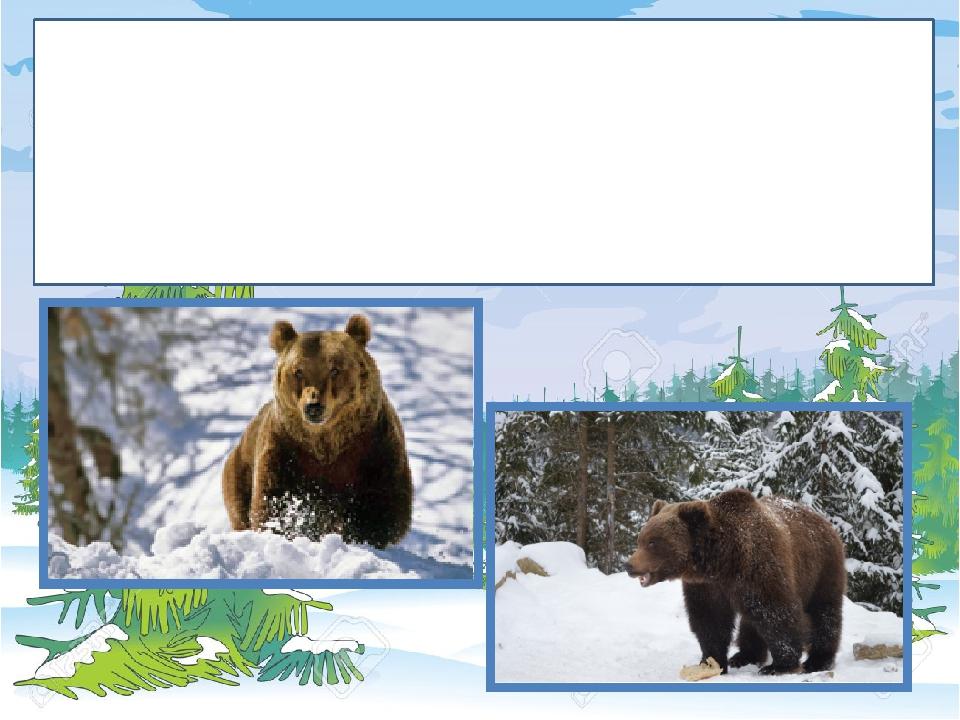 Ведмідь заліг у барліг до весни. Йому не треба виходити на полювання, бо вистачає власного жиру, який він накопичив восени.
