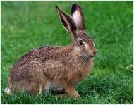 Заєць - опис, види, чим харчується, забарвлення, фото