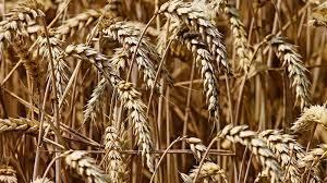 Турция будет импортировать зерно, чтобы предотвратить рост цен на фоне  низкого производства   МК-Турция