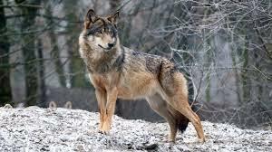 вовк – КОЛОМИЯ СЬОГОДНІ