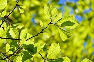 Вчені навчилися використовувати затінок від листя дерев для отримання  електроенергії   Mind.ua